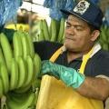 Sr. José Cepeda - Productor de Banano - Provincia del Guayas